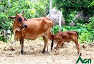สถาบันสุขภาพสัตว์แห่งชาติ กรมปศุสัตว์ เตือนภัยเกษตรกรผู้เลี้ยงสัตว์ระวังสารพิษอันตรายในช่วงฤดูฝน